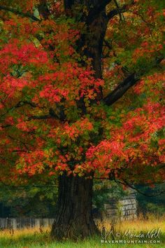 Grand Old Maple - Smoky Mountains, Tennessee