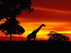 """African Wildlife - does anyone else have """"The Circle of Life"""" stuck in their head now too?"""