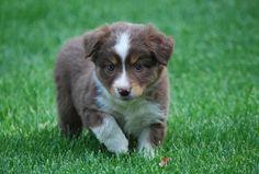 Miniature Australian Shepard. Beautiful animal...look at those blue eyes!