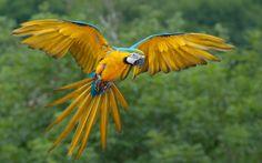 Papagayo exótico