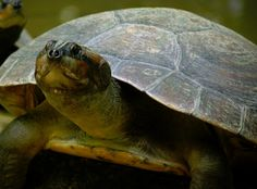 Scientists working in the Brazilian Amazon have found that Giant South American river turtles actually use several different kinds of vocal communication to coordinate their social behaviors, including one used by female turtles to call to their newly hatched offspring in what is the first instance of recorded parental care in turtles.