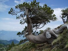The highest tree on Mt. Smolikas in Greece Mountaineering, Planet Earth, Planets, Greece, Things To Think About, Hiking, Landscape, Amazing, Nature