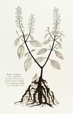 Ocimum tenuflorum (Holy Basil)