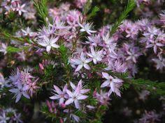 Calytrix tetragona Australian Plants, Australian Garden, Star Shape, Native Plants, Myrtle, Colorful Flowers, Shrubs, Flora, Pink