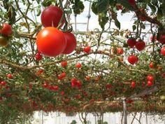 Varietà pomodori