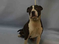 Brooklyn center DIAMOND – A1091231 FEMALE, WHITE / BLACK, AM PIT BULL TER MIX, 7 yrs OWNER SUR – EVALUATE, NO HOLD Reason MOVE2PRIVA Intake condition EXAM REQ Intake Date 09/25/2016, From NY 11433, DueOut Date 09/25/2016,