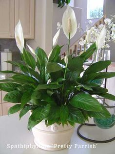 1000 images about top indoor clean air plants on pinterest peace lily corn plant and hedera. Black Bedroom Furniture Sets. Home Design Ideas