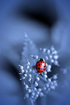 Ladybug in blue Lady Bug, Beautiful Bugs, Beautiful Pictures, Beautiful Creatures, Animals Beautiful, Tier Fotos, Mundo Animal, All Gods Creatures, Love Bugs