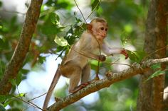 Toque Macaque | conservation Conservation, Nature, Animals, Animaux, Animal, Animales, Nature Illustration, Off Grid, Mother Nature