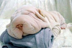 Funniest & Cutest Shar Pei Dog New Images Shar Pei, Sleeping Dogs, Dark Horse, New Image, Funny Cute, Funny Dogs, Cute Babies, Funny Pictures, Reptiles