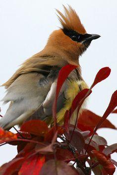 I ❤ birds . . . Cedar Waxwing