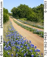 Bluebonnets - even in the middle of the road!!