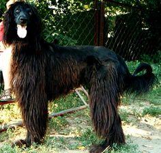 taigan dog photo | Taigan (Kirghiz Borzoi) - Compatible Canine Companions