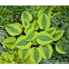 Hosta Goodness Gracious - Garden Crossings Online Garden Center offers a large selection of Hosta Plants. Shop our Online Perennial catalog today! Hosta Gardens, Garden Shrubs, Shade Garden, Garden Plants, Hosta Plants, Shade Perennials, Shade Plants, Foliage Plants, Lavender Flowers