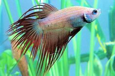 red marble crowntail