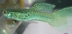Green Snakeskin Guppy - Guppy Pro | Guppy Pro Guppy, Aquarium Fish, Snake Skin, Colors, Green, Colour, Color, Paint Colors, Hue