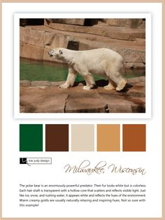 Wildlife influence: Who would have thought that a polar bear's hair is transparent... Referencing their warm creamy gold color and their swimming pool :) Location: Milwaukee, Wisconsin -mejudydesign.com Milwaukee Wisconsin, Color Stories, Predator, Polar Bear, Swimming Pools, Wildlife, Warm, Gold, Animals