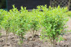 Liguster Pflanzen Ligustrum Vulgare  Atrovirens