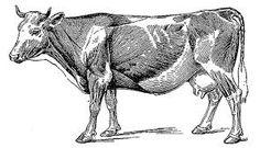 Image result for bovine muscle anatomy | Motivation | Pinterest ...
