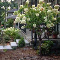 Hydrangea - Late Panicle - Tree Form