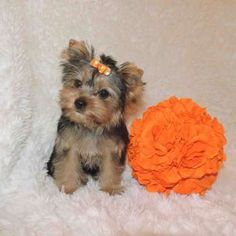 New Yorkie Puppies Yorkies For Sale Elvis Yorkshire Terrier Miniature Micro Tiny Puppies For Sale, Yorkies For Sale, Yorkie Puppy For Sale, Yorkie Puppies, Yorkshire Terrier For Sale, Toy Yorkie, Yorshire Terrier, Buy Toys, Miniatures