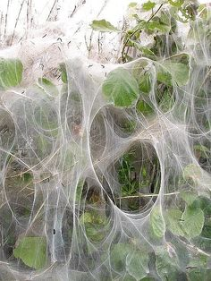 Abstract art in the hedge - Small ermine moth caterpillar web © Penny Mayes - Pictures On String, Nature Pictures, Abstract Nature, Abstract Art, Spider Art, Spider Webs, Sculpture Art, Metal Sculptures, Abstract Sculpture
