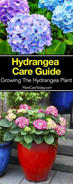Container Gardening Ideas Hydrangea Care Guide: How To Grow The Hydrangea Plant - The popular hydrangea plant, puts on a spectacular flower show of white, pink, lavender and blue from mid-summer to late fall, prefer full sun [LEARN MORE] Hydrangea Potted, Hydrangea Landscaping, Hydrangea Bush, Hydrangea Care, Landscaping Plants, Garden Plants, Full Sun Hydrangea, How To Plant Hydrangea, Care Of Hydrangeas