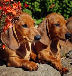 ❤ The doxie twins!!