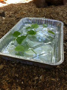 CHICKENS!     Man its HOT HOT HOT outside!!!!   Tilly's Nest: Heat Stress  Spa treatment. Take a shallow pan, fill it with ice water & then sprinkle in some fresh herbs. The fresh herbs make this absolutely irresistible. The girls enjoy standing in it. Drinking from it & sampling cool refreshing treats.