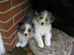 Zoey & Gracie!  Adorable Australian Shepherd Puppies
