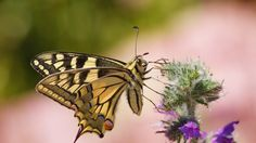 Machaon by Maxime Raynal on 500px