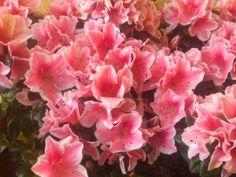 Flores a domicilio. La Azalea, una de las plantas con floraciones más espectaculares.