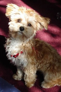 Petie, the Yorktese / #morkie (Yorkie / Maltese Hybrid) at one year old. Bred by Sunrise Kennel