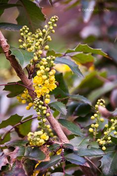 Közönséges Mahónia (Mahonia aquifolium) gondozása, szaporítása (Közönséges Mahónia) Fruit, Garden, Plants, Food, Garten, Lawn And Garden, Essen, Gardens, Meals
