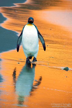 King penguin walking on a beach at sunrise, South Georgia Island.