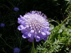 Butterfly Blue Scabiosa Plant