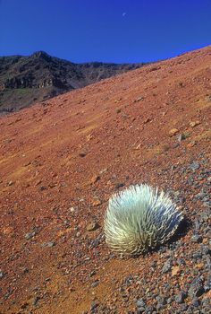 Silversword Haleakala Crater Maui Hawaii...The Haleakala Crater is the only   known place for the Silversword to grow!