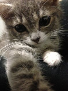 Louis, Cat of pet parent Cara | Pawshake
