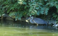 Blue Heron at the Halifax Public Gardens