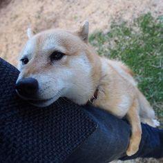 Pinを追加しました!/大好きー! #shiba #dog #komugi #shibe #柴犬