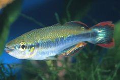 Madagascar rainbowfish.  peaceful rainbow that likes to be in groups of 6.  www.aprilsaquarium.com