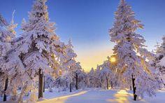 fa fenyő fény naplemente