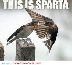 This Is Sparta - funny birds