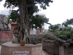 Kadamba Tree in Kaliya Ghat