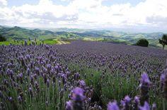 Aqui perto da Capital de SP temos uma pequena Provence, com seus campos de lavanda - Conheçam o Lavandário de Cunha - SP