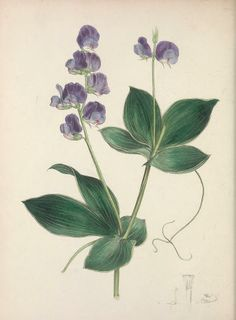 v.3 (1840) - The floral cabinet and magazine of exotic botany / -Smithsonian