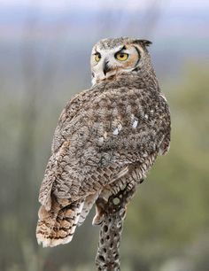 Owls Pictures (1), via Flickr.