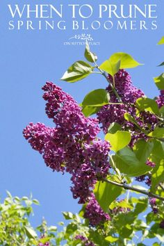 Spring Blooming Lilac Bush. An easy-to-follow garden pruning guide for basic plant and shrub categories that is perfect for the beginner gardener!