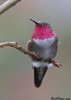 Broad-tailed Hummingbird.... Relax with this nature photo. #Relax more with this #free #music with #BinauralBeats that can #heal you. #landscaping #LandscapingIdeas #landscapeDesign