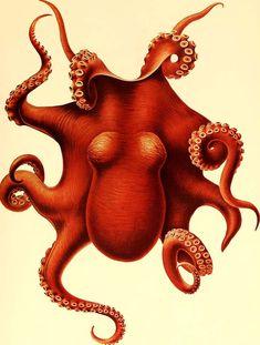 Octopus Vintage prints old prints Nautical art print Ocean Decor Natural History Victorian art antique prints nature print Ocean art Octopus Wall Art, Octopus Print, Octopus Squid, Red Octopus, Octopus Tentacles, Octopus Illustration, Antique Illustration, Ipad Art, Wall Art Prints